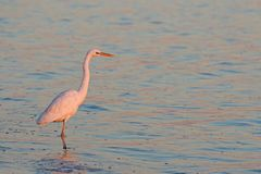 Sunset Great Egret Royalty Free Stock Images