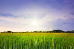 Sunset on green barley field . Royalty Free Stock Photography
