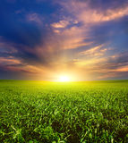 Sunset on the Green Field of wheat, blue sky and sun, white clouds. wonderland Royalty Free Stock Photography