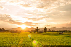 Sunset on green paddy field Stock Images