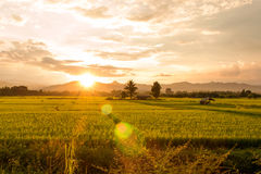Sunset on green paddy field Royalty Free Stock Photos