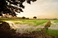 Sunset on green rice field Royalty Free Stock Photography
