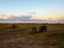 Rhinos by sunset. Sunset with a group of rhinos in Kenya Stock Image