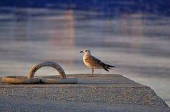 Sunset and gull. Seagull watching the sunset Stock Photo