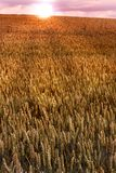 Sunset at harvest. Field at wheat. Extreme DOF (Tilt/shift lens used). Useful as background Royalty Free Stock Image