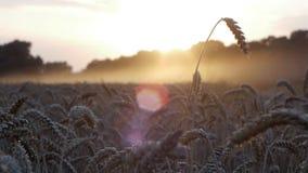 Sunset harvest on fields 4 stock video footage