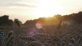 Sunset harvest on fields stock video footage