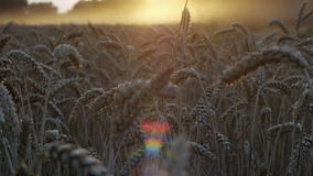 Sunset harvest on fields 2 stock video footage