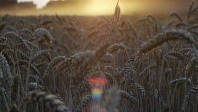 Sunset harvest on fields 2 stock video footage