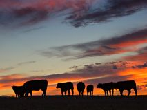 Sunset Herd. A herd of cattle graze at sunset stock photo