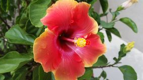 Sunset hibiscus flower Royalty Free Stock Photo