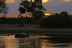 Sunset Hippos in the waters of the Okavango Delta. Hippopotamus are also known as River horses, very dangerous for humans as they will attack without provocation stock photos