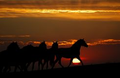Sunset and horses (silhouette). The herd of horses gallops on a decline Royalty Free Stock Photo