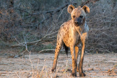 Sunset Hyena Stock Photo