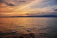 Swans in lake by sunset idyll with view to hilly coastline Royalty Free Stock Images