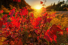 Sunset Illuminates Red Maple Leaves Stock Photo