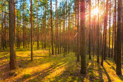 Sunset In Spring Forest Royalty Free Stock Photos