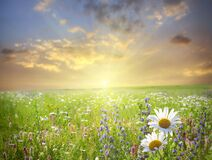 Free Sunset In The Flower Field Stock Image - 172660661