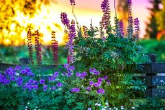 Free Sunset In The Garden - The Pond Edge Of The Plank Fence, In Front Bloom Beautiful Flowers. Stock Photo - 110210010