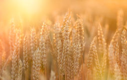 Free Sunset In Wheat Field - Beautiful Sunset In Agricultural Field Royalty Free Stock Photos - 74617028