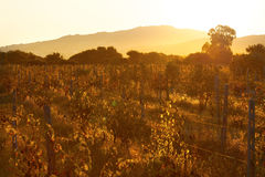 Sunset Italy vineyards green leaves ripe fruits of grapes Royalty Free Stock Photos