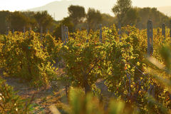 Sunset Italy vineyards green leaves ripe fruits of grapes Stock Photo