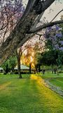 Sunset and jacarandas in the garden stock images