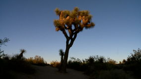 Sunset joshua tree timelapse scene stock video footage