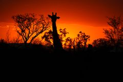Kruger Sunset with Giraffe Stock Photography