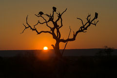 Sunset in Kruger Park. Three vultures are perching on dead tree Royalty Free Stock Photo