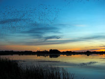 After sunset by the lake. A flock of birds flying over the lake royalty free stock images