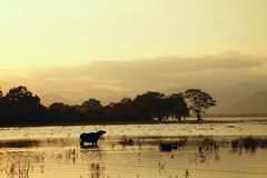 Sunset lake landscape with buffalo standing in water Stock Photo