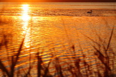 Golden sunset lake idyll with pelican Stock Images