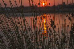 Sunset on the lake. View of the setting sun through the thickets of sedge Stock Image