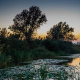 Sunset on the lake with water lilies, reeds and with trees in th Royalty Free Stock Photo