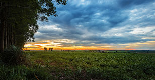 Sunset landscape on a farm with soybean plantation Stock Photo