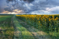 Sunset landscape at sunflower field with stormy clouds in backgr Royalty Free Stock Images