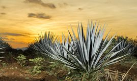 Tequila agave lanscape sunset. Sunset landscape of a tequila plantation, Guadalajara, Mexico royalty free stock photos