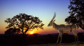 Sunset landscape and waterbuck in Kruger National park royalty free stock photography