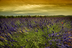 Sunset in lavender field Royalty Free Stock Photos