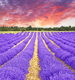 Sunset in a lavender field stock photo