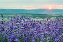 Sunset in a lavender field in a Summer Stock Photos
