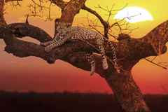 Sunset leopard Stock Images