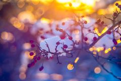 Sunset light and beautiful winter bokeh. Winter background, berries on a twig at sunset light and beautiful helios lens bokeh royalty free stock images