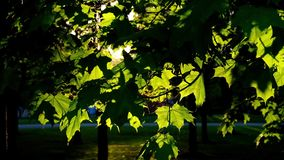 Sunset light in the birch tree park with harsh shadows stock video