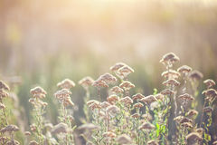 Sunset light with flower background. Wild plant at sunset blurred background photo Stock Photography