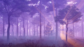 Sunset light rays in misty pine forest Royalty Free Stock Photography