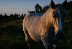 In the sunset light. A white horse in the sunset light stock photography