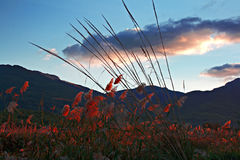 Sunset lights up the colorful  pampas grass Royalty Free Stock Photo