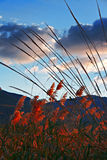 Sunset lights up the colorful  pampas grass Stock Photo